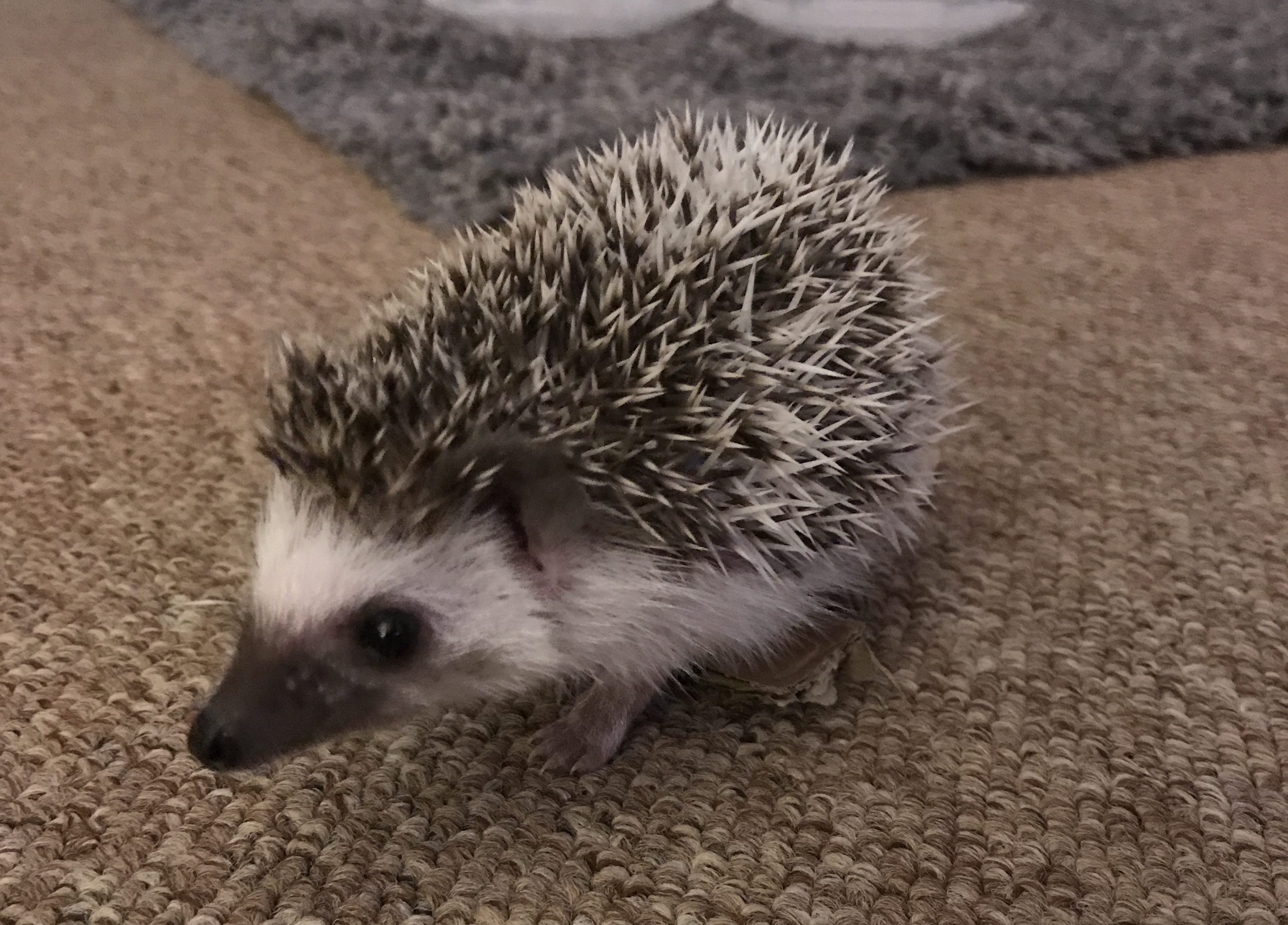 Henlo the hedgehog - Charlotte Rick Blog
