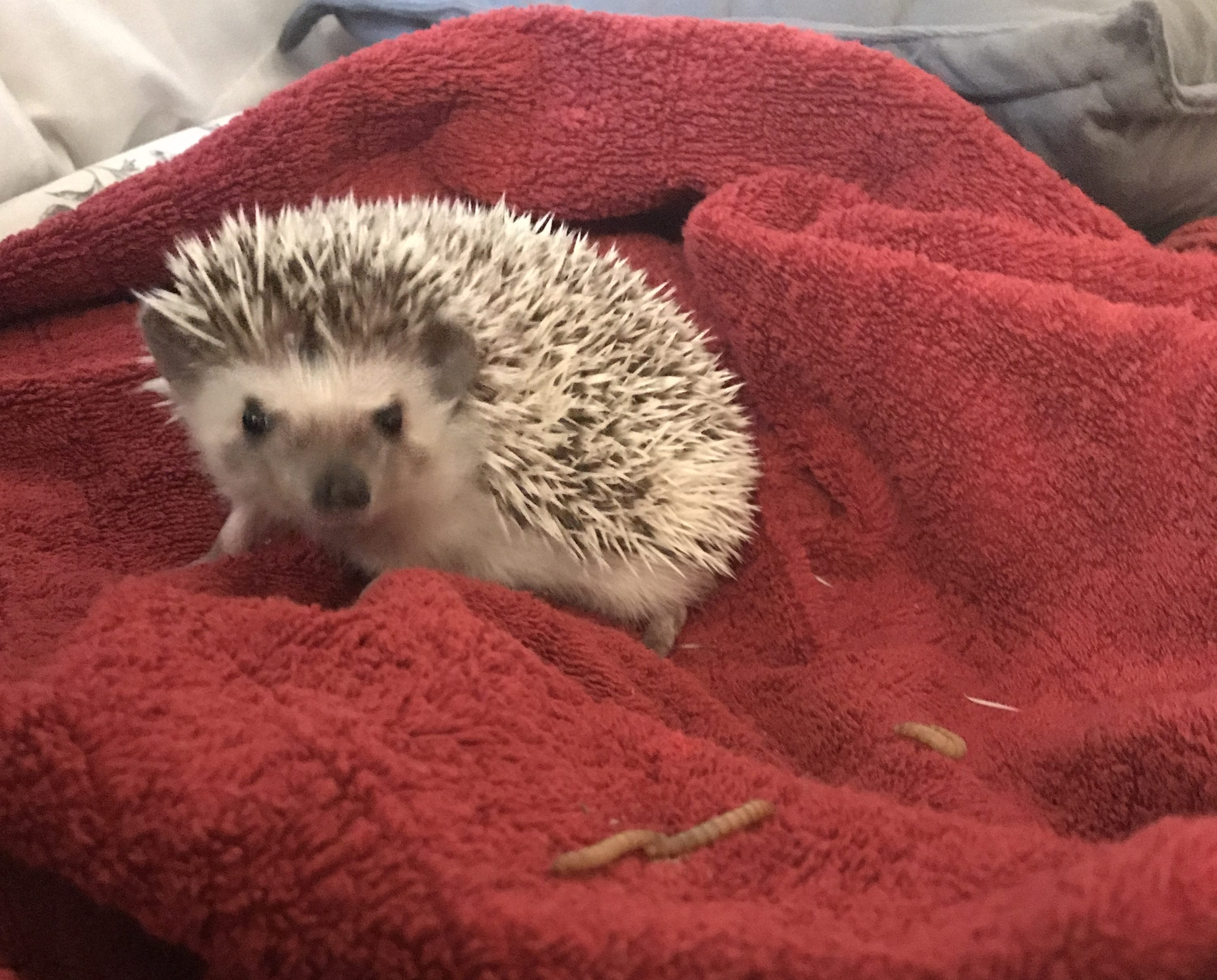 Henlo and mealworms